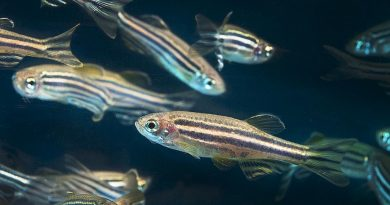 Immerse yourself in the variety of research applications of the zebrafish from this Catalonian Biotech.